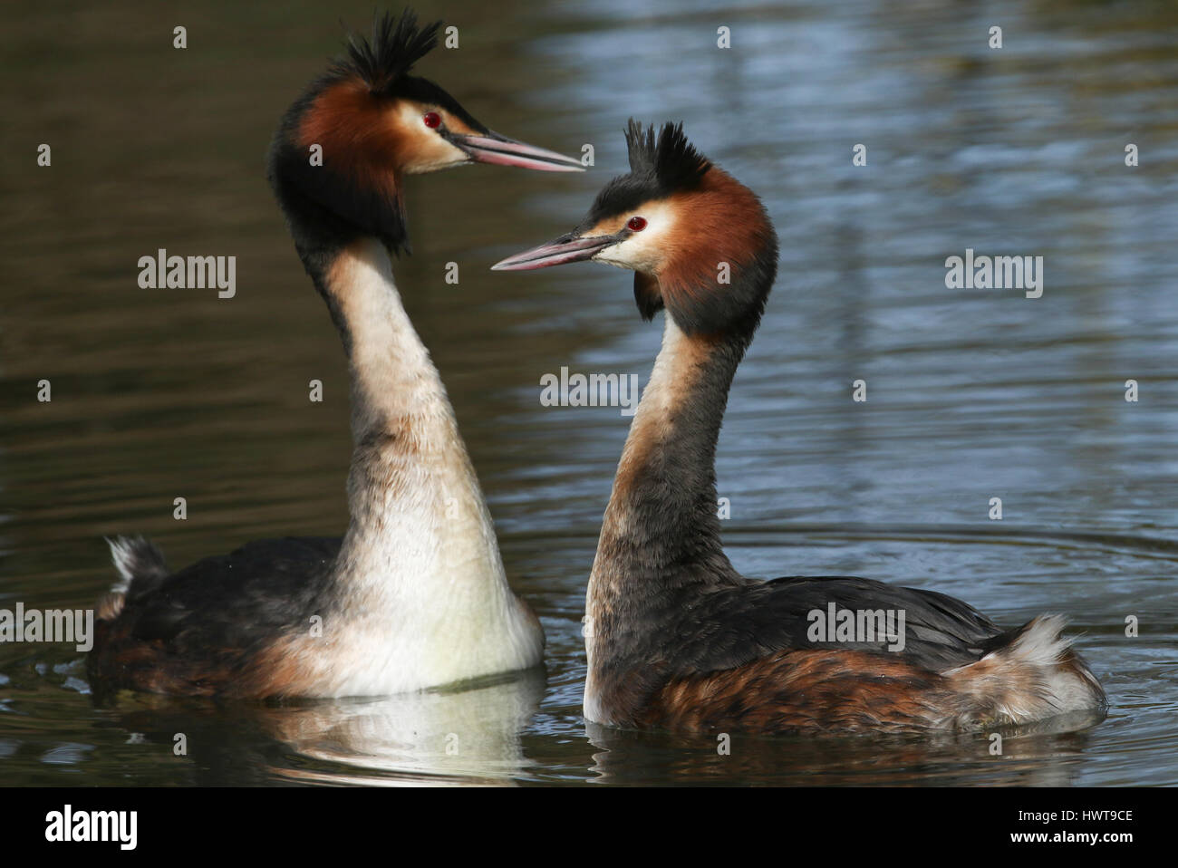 A pair of beautiful Great crested Grebe (Podiceps cristatus) in the middle of their courtship display. - Stock Image