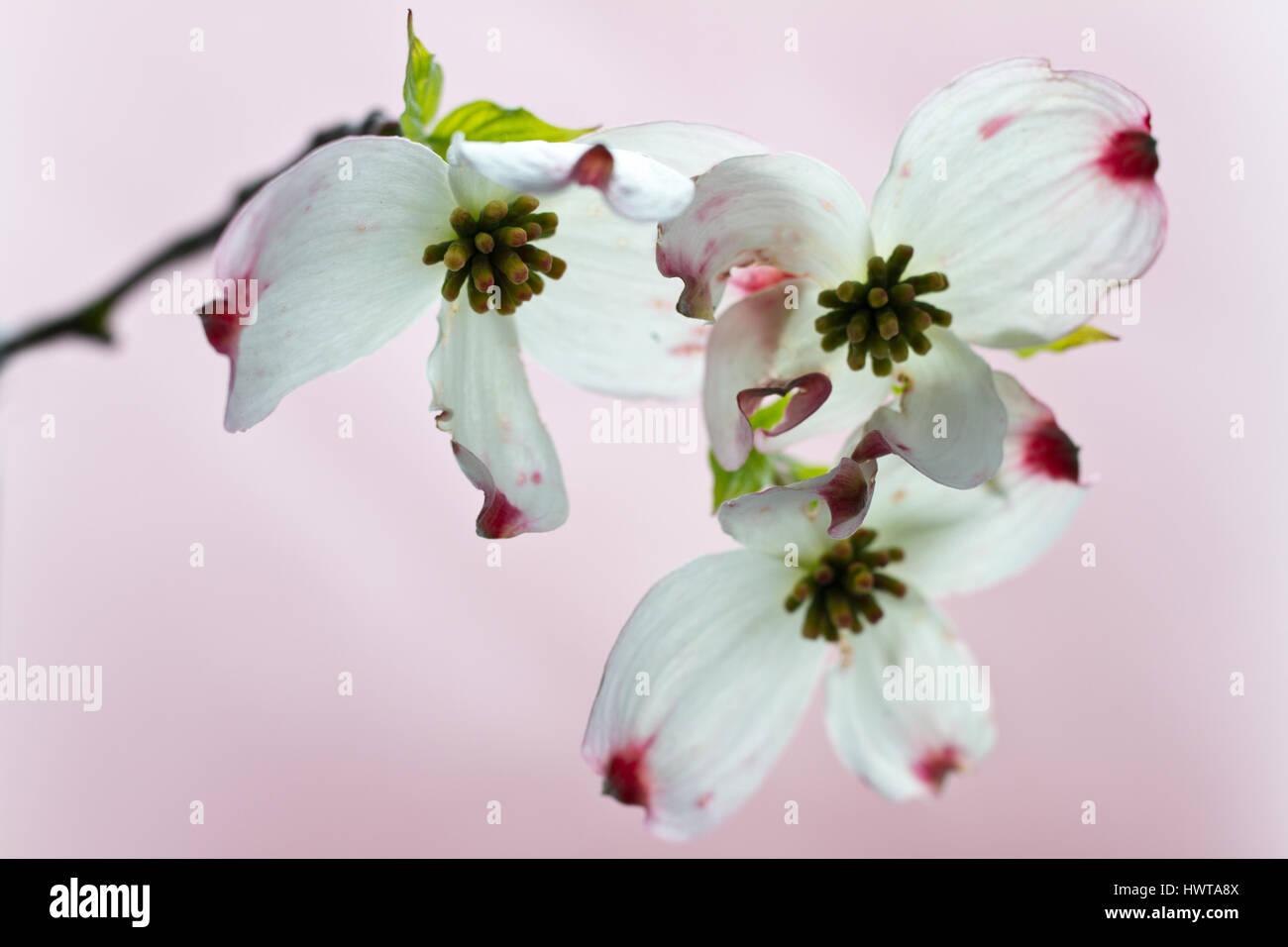 Blumenhartriegel - Stock Image