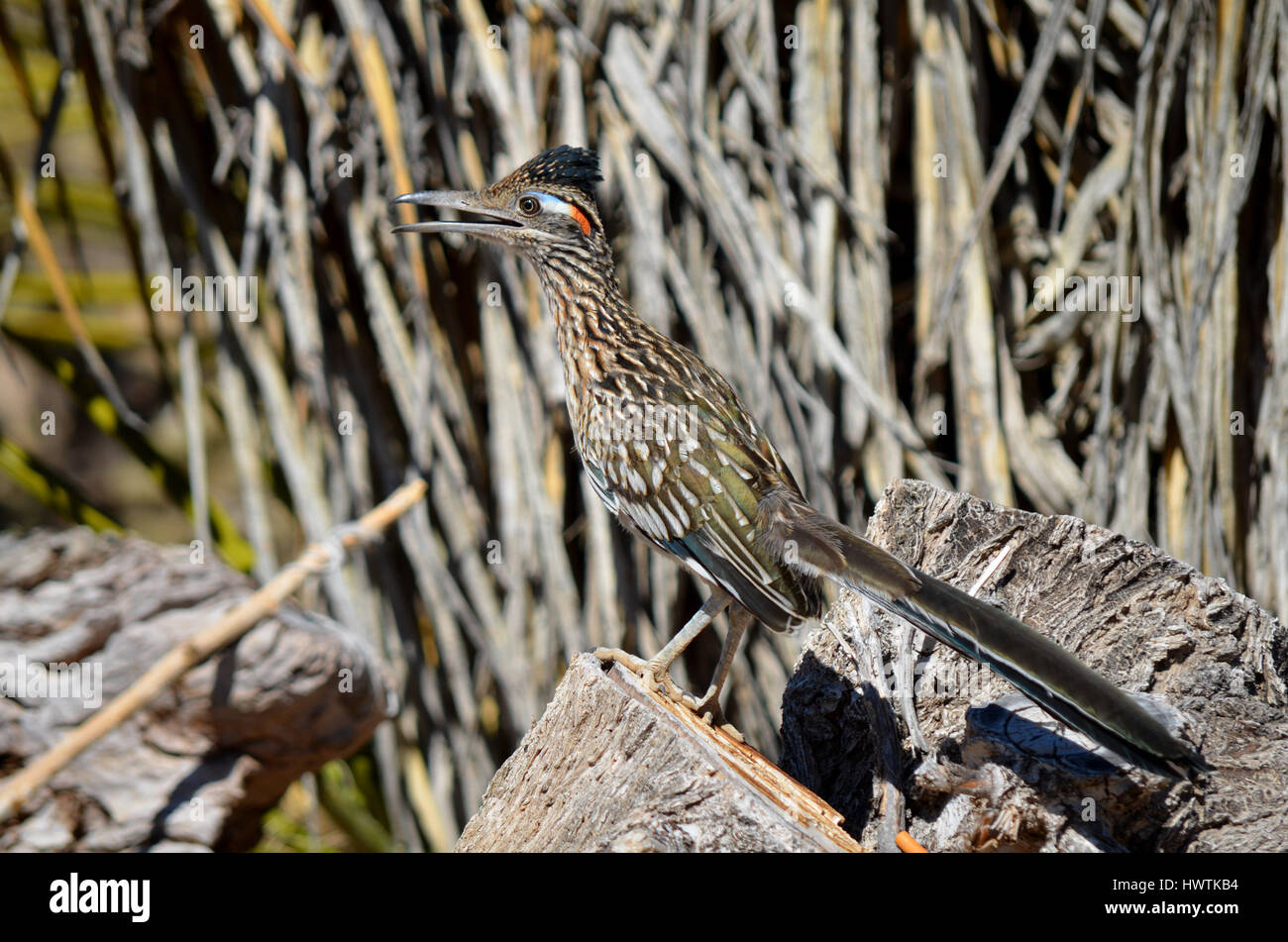 A Greater roadrunner hanging out in my backyard in Apple Valley California. - Stock Image