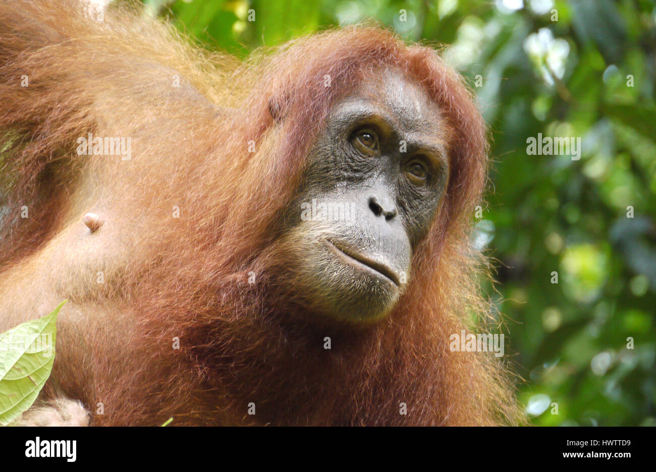 Sumatran Orangutan, Indonesia Stock Photo