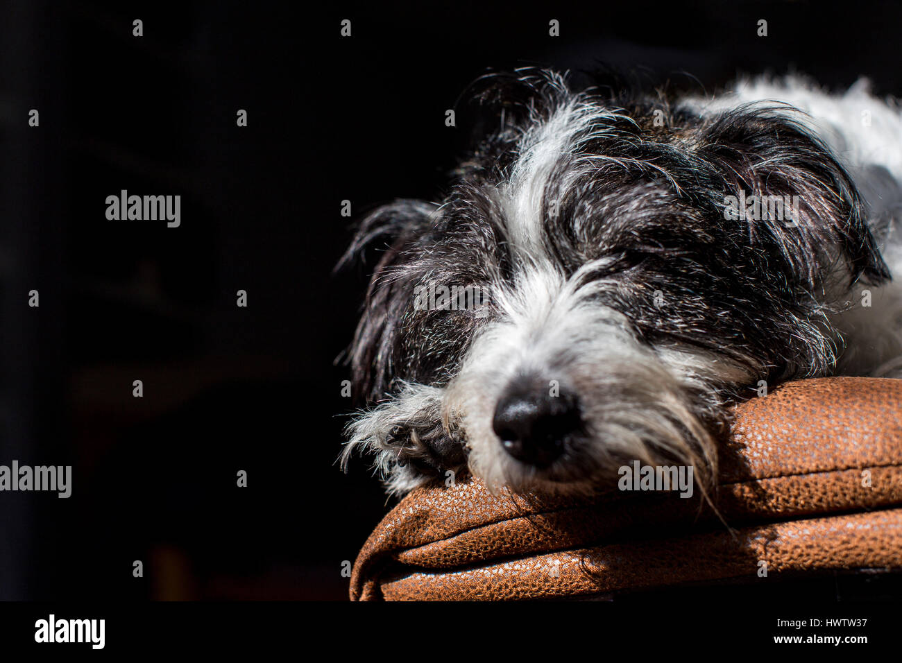 a black and white dog (cross between Jack Russell and Bichon Frise ) relaxes in a shaft of light while resting on - Stock Image