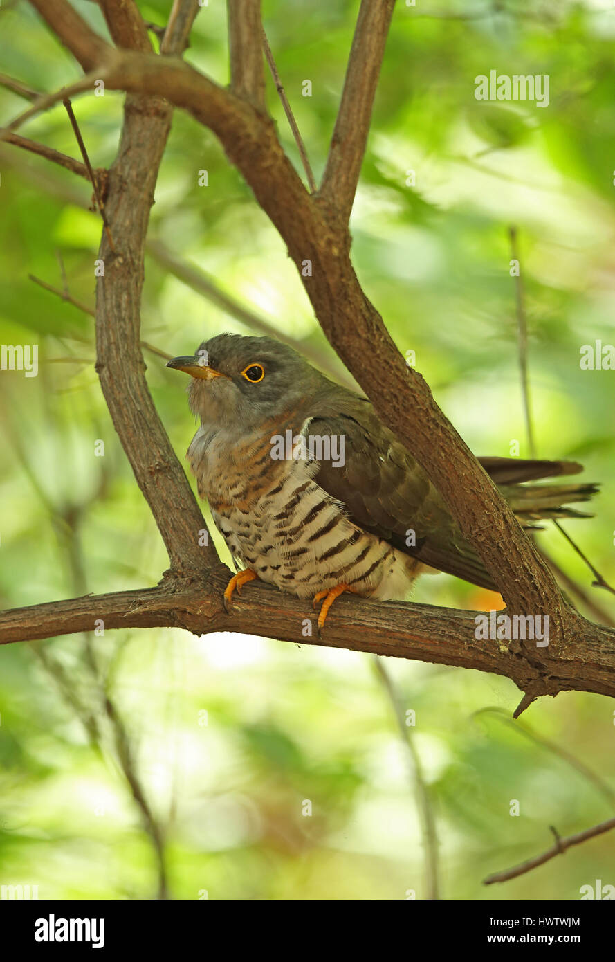 Indian Cuckoo (Cuculus micropterus micropterus) adult perched on branch  Beidaihe, Hebei, China       May - Stock Image