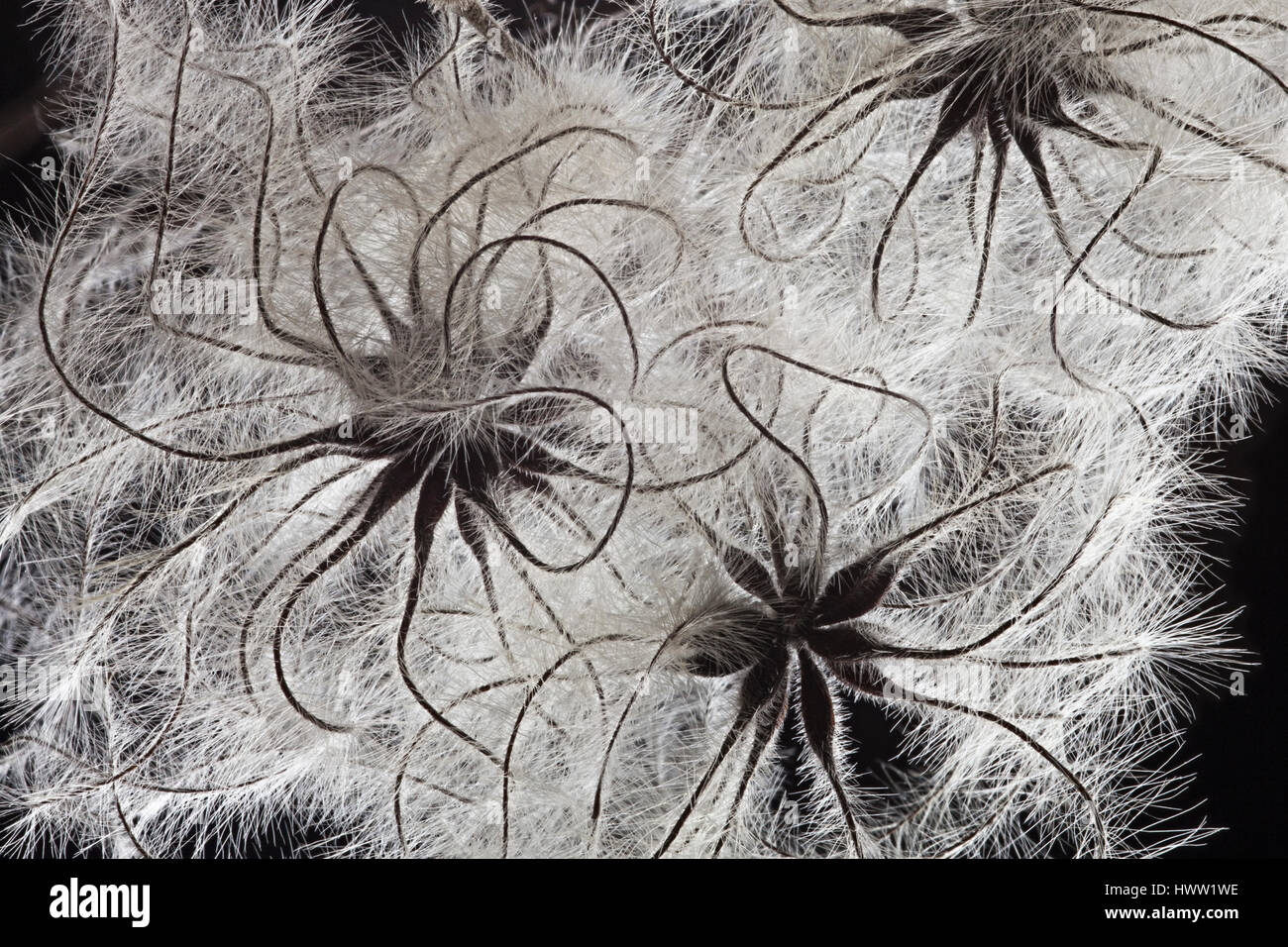 Old Man's Beard - close up seed dispersal detail - Stock Image