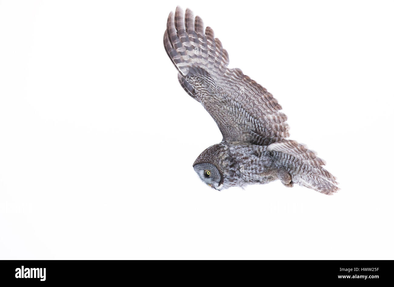 Great grey owl in flight in Canada - Stock Image