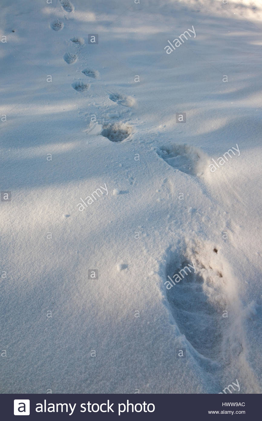 Fresh Grizzly Bear tracks across snow. - Stock Image