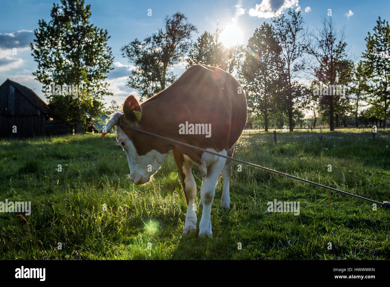 Cow on a pasturage of small farm in a village on Mazovia region in Poland - Stock Image