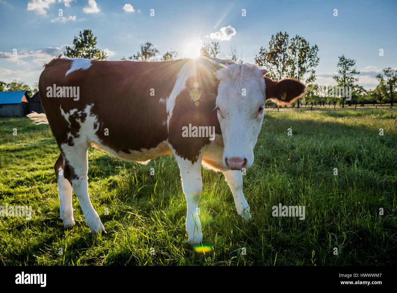 Cow on a meadow in a small village on Mazovia region in Poland - Stock Image