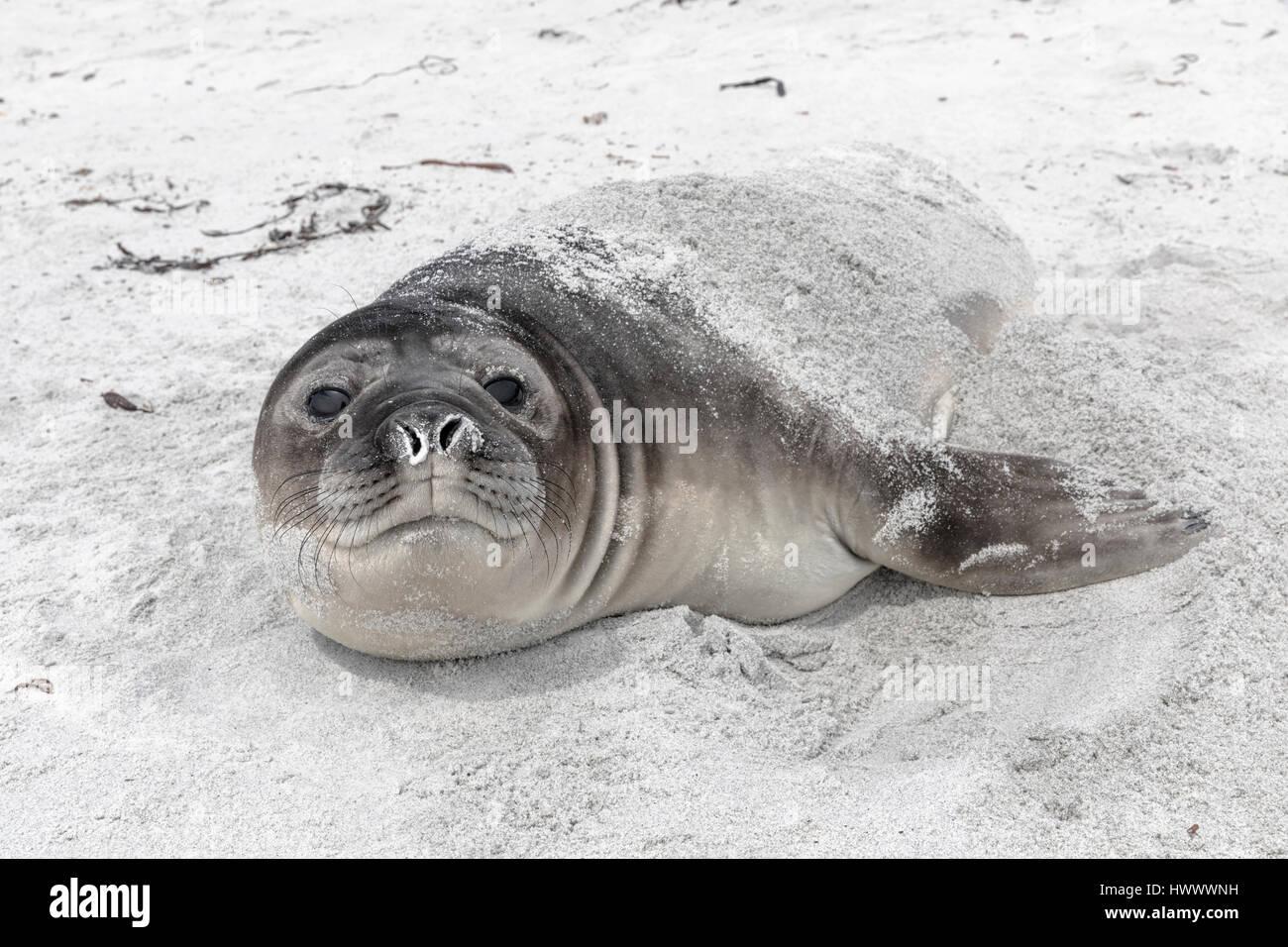 Southern Elephant Seal - Stock Image