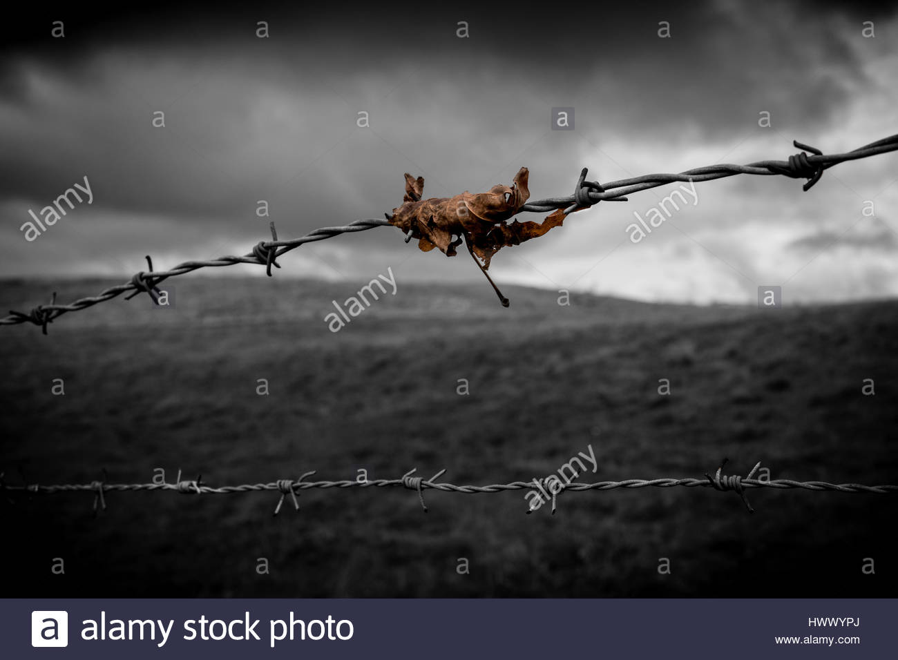 Barbed wire protection concept stock image. A brown leaf caught on barbed wire abstract concept. - Stock Image