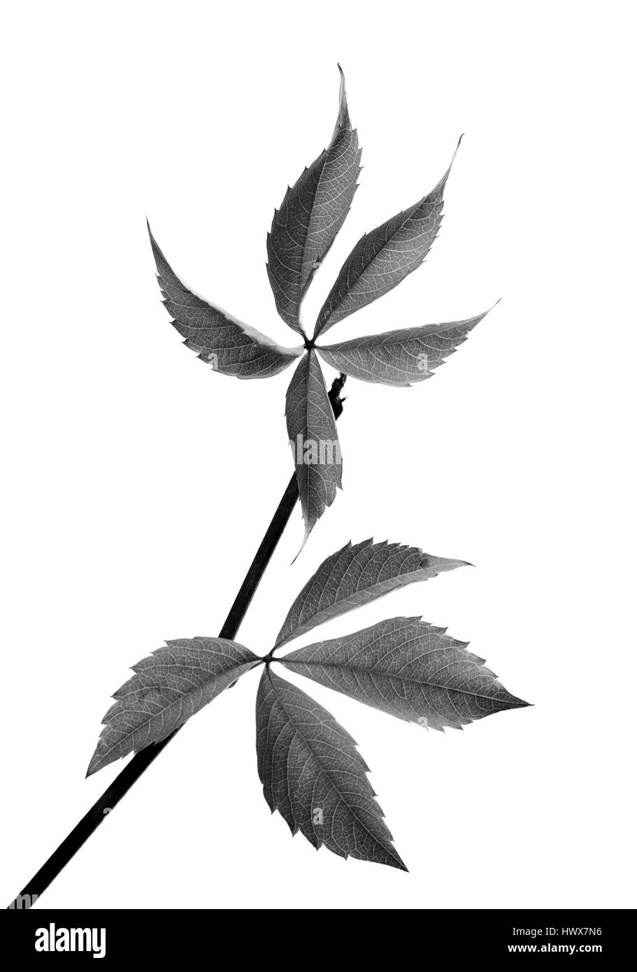 Black and white twig of grapes leaves (Parthenocissus quinquefolia foliage). Isolated on white background. - Stock Image