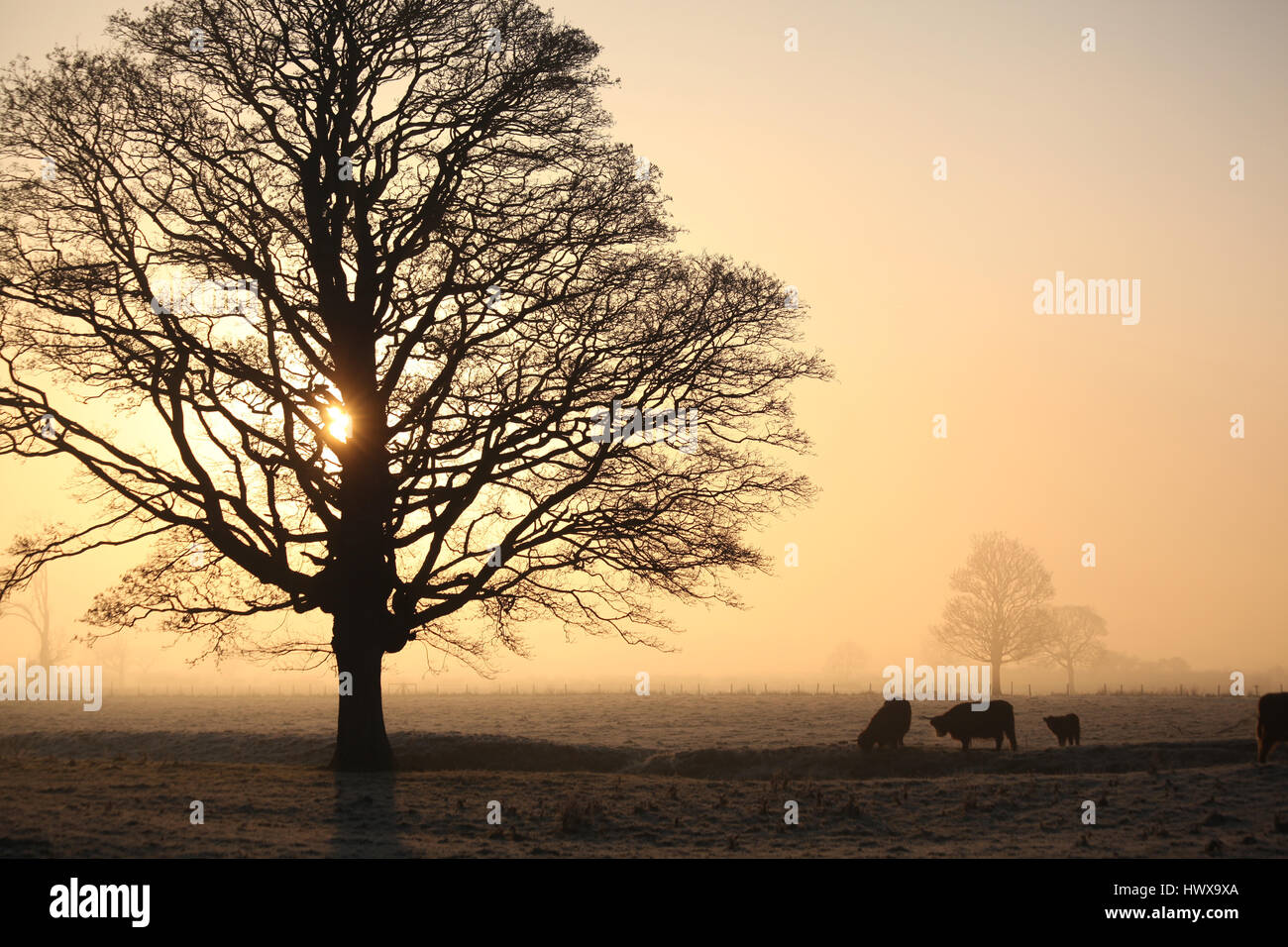 Winter mist and cattle - Stock Image