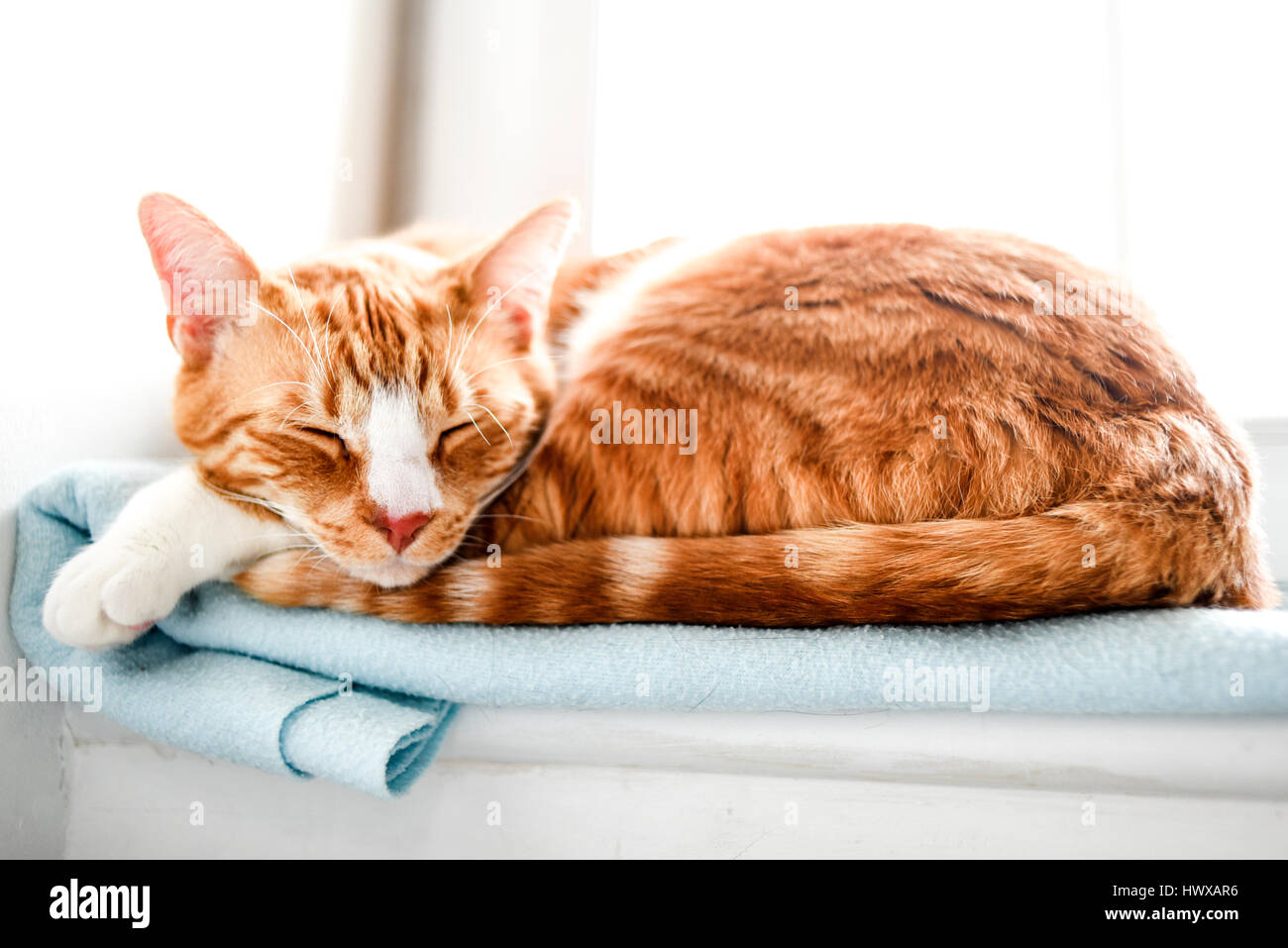 Red domestic cat sleeping - Stock Image