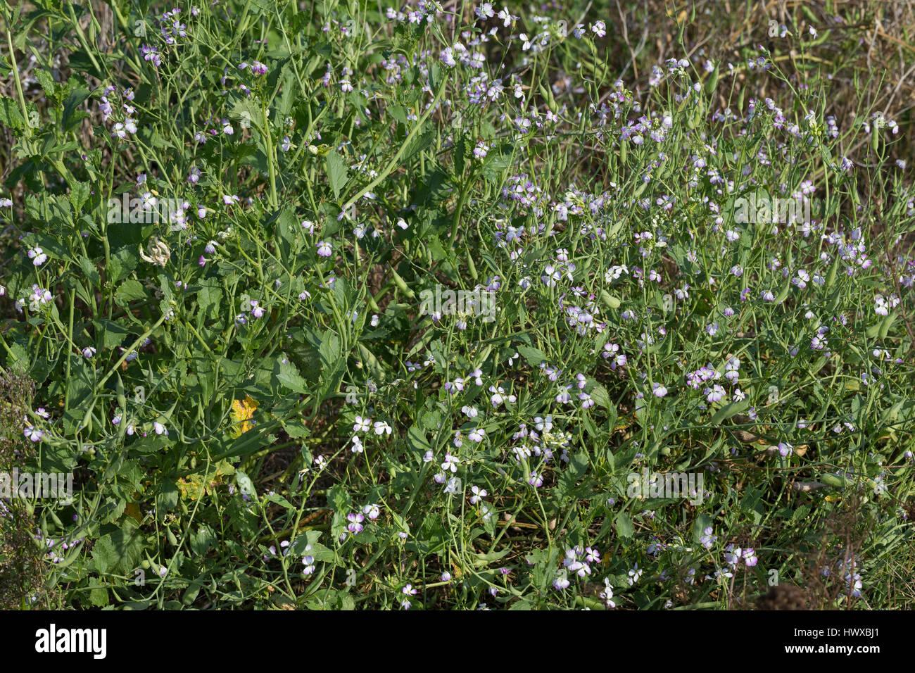 Garten-Rettich, Gartenrettich, Rettich, Raphanus sativus, radish, Le radis Stock Photo