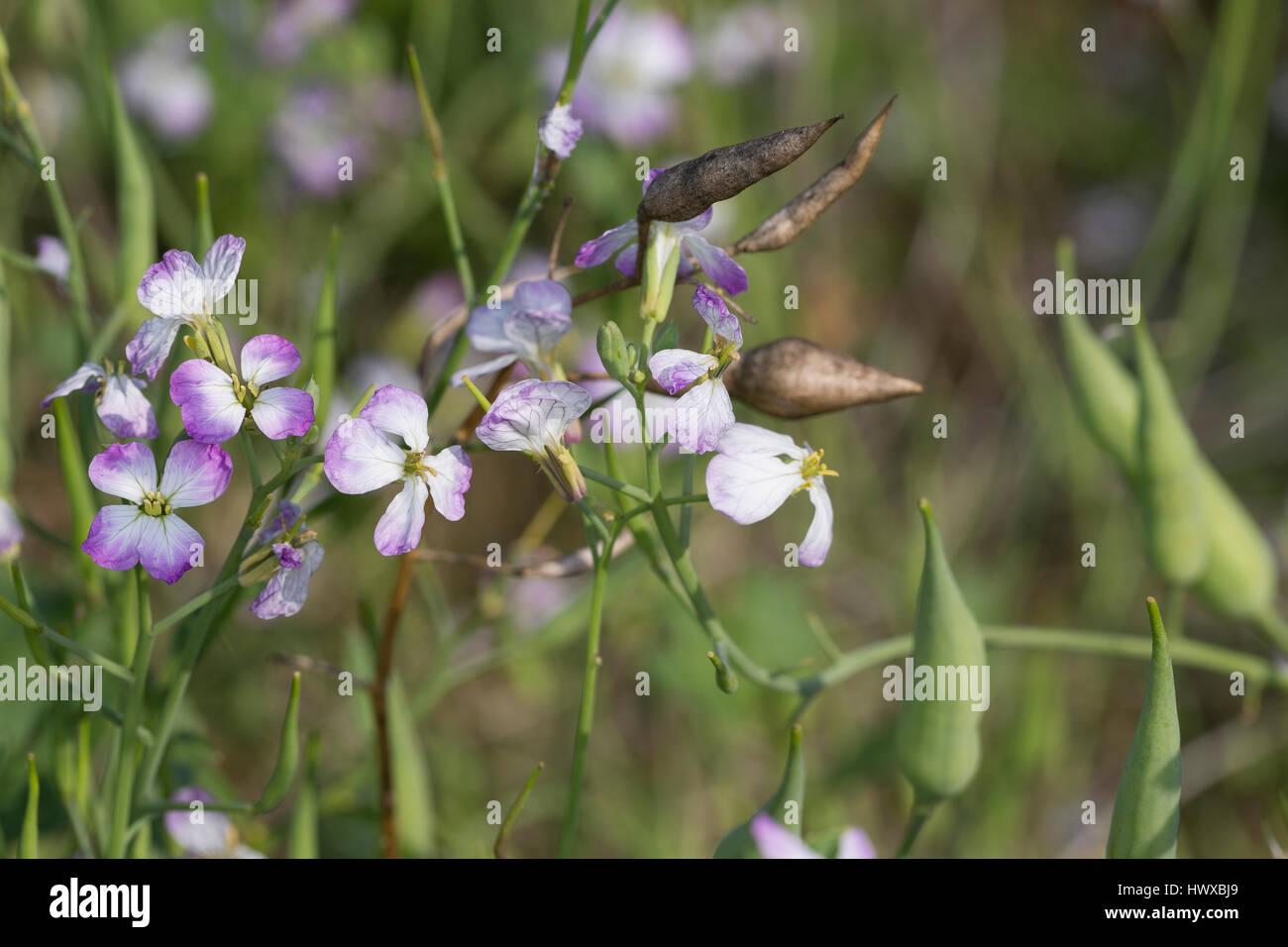 Garten-Rettich, Gartenrettich, Rettich, Raphanus sativus, radish, Le radis - Stock Image