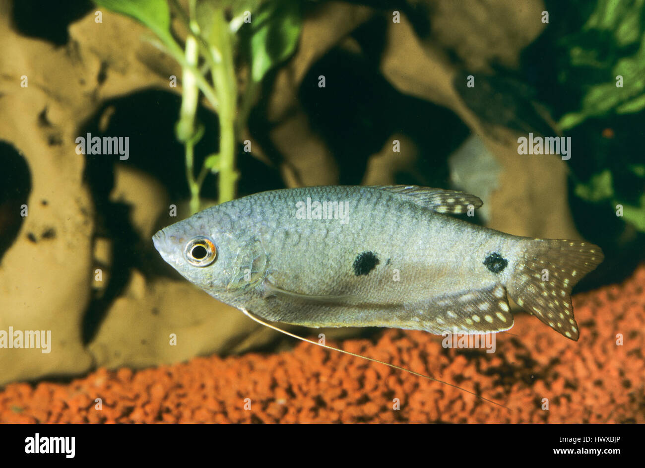 Gepunkteter Fadenfisch, Punktierter Fadenfisch, Blauer Fadenfisch, Trichopodus trichopterus, Trichogaster trichopterus, Stock Photo