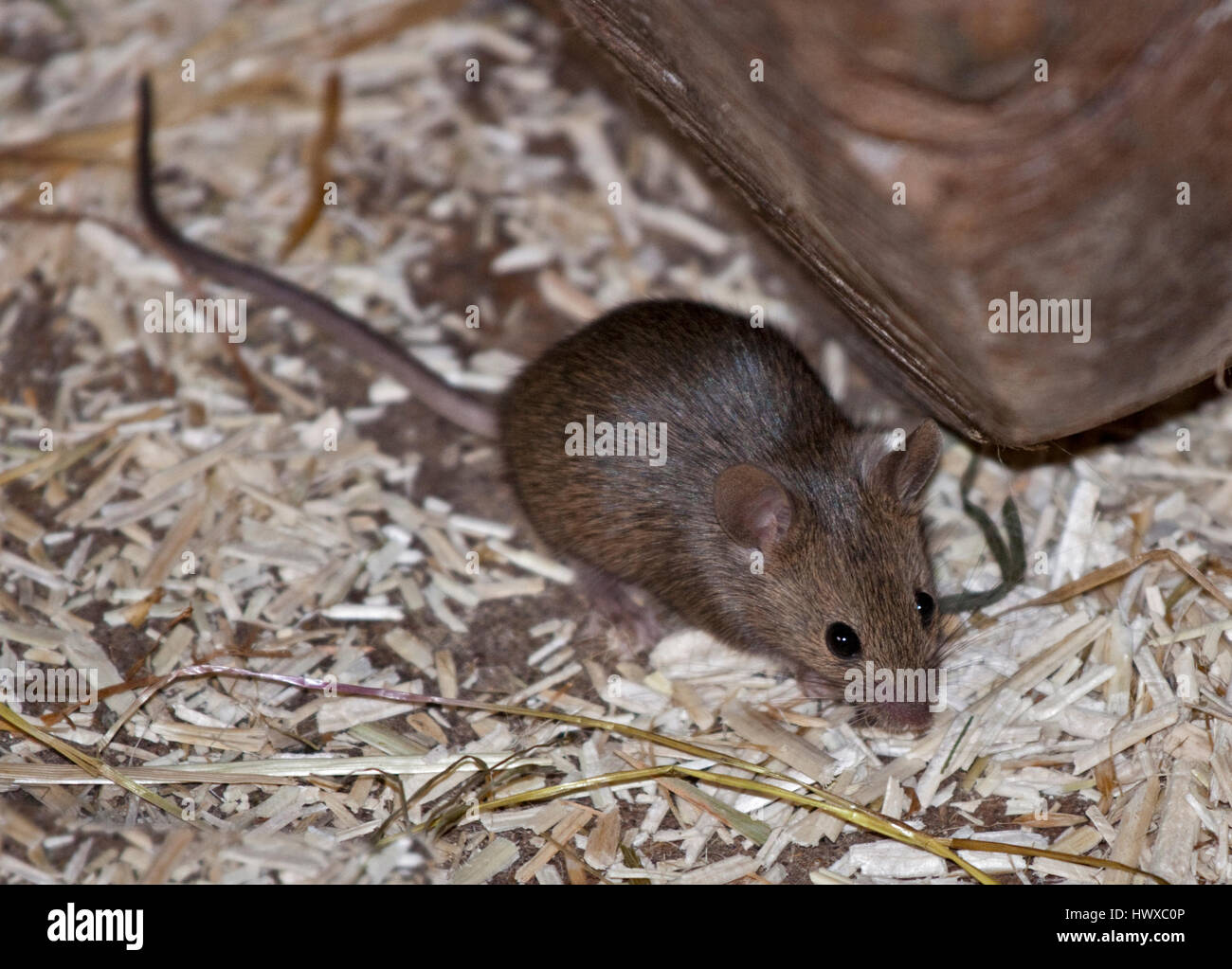 House Mouse (mus musculus) - Stock Image