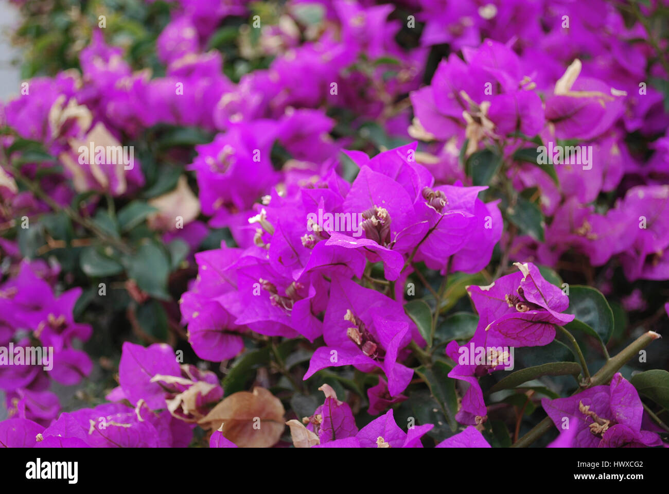 Bougainvillea Bushes With Purple Flower Like Spring Leaves Near Its