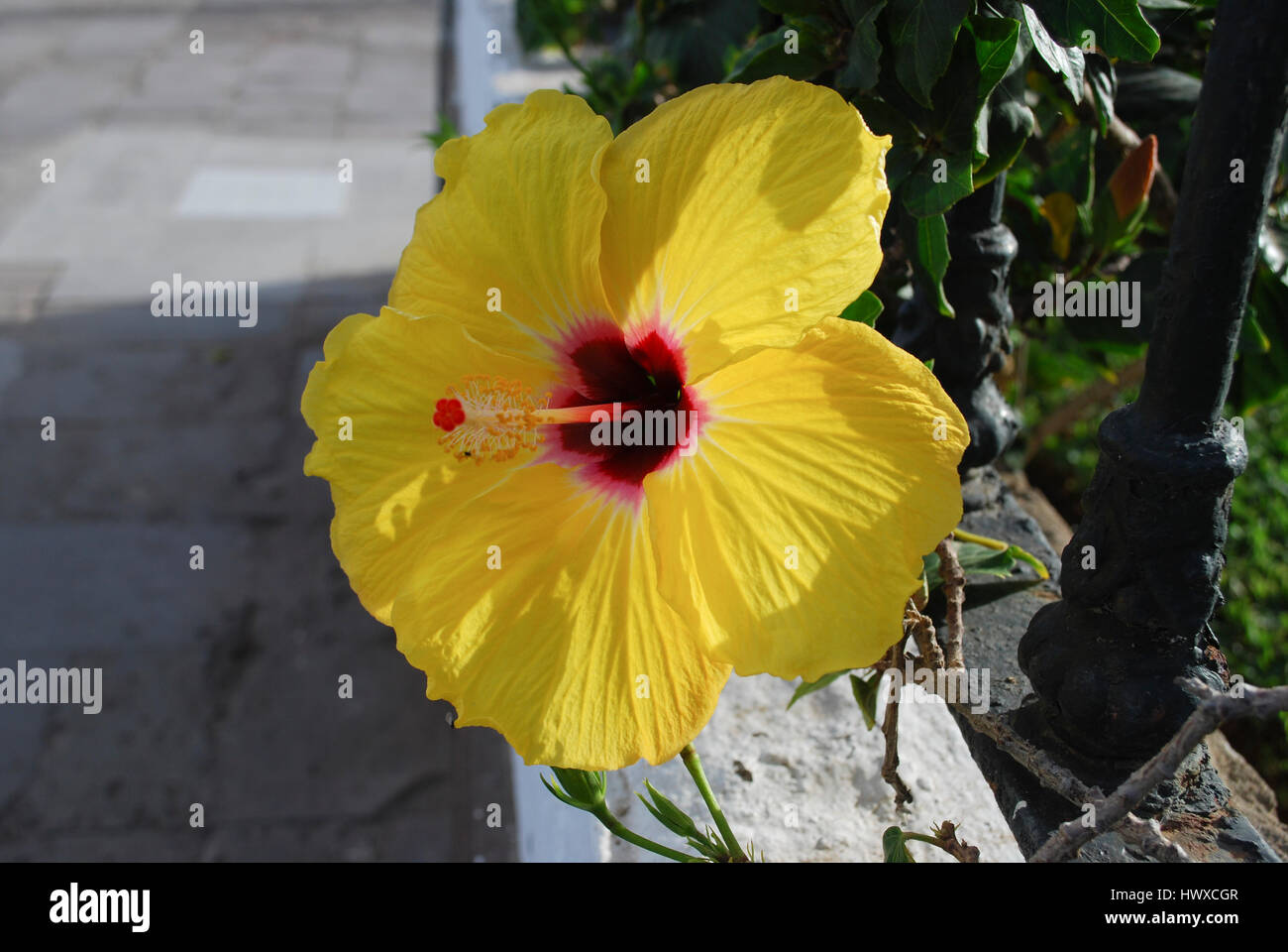 Hibiscus Yellow Flower With Red Center Stock Photo 136419607 Alamy