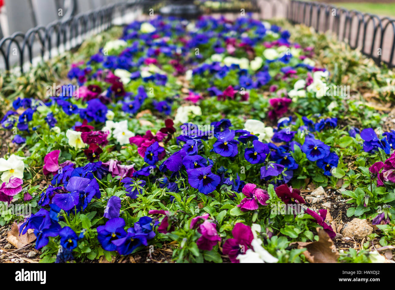 Purple and white flowers of the pansy stock photos purple and purple blue and white pansy flowers in garden macro closeup stock image mightylinksfo