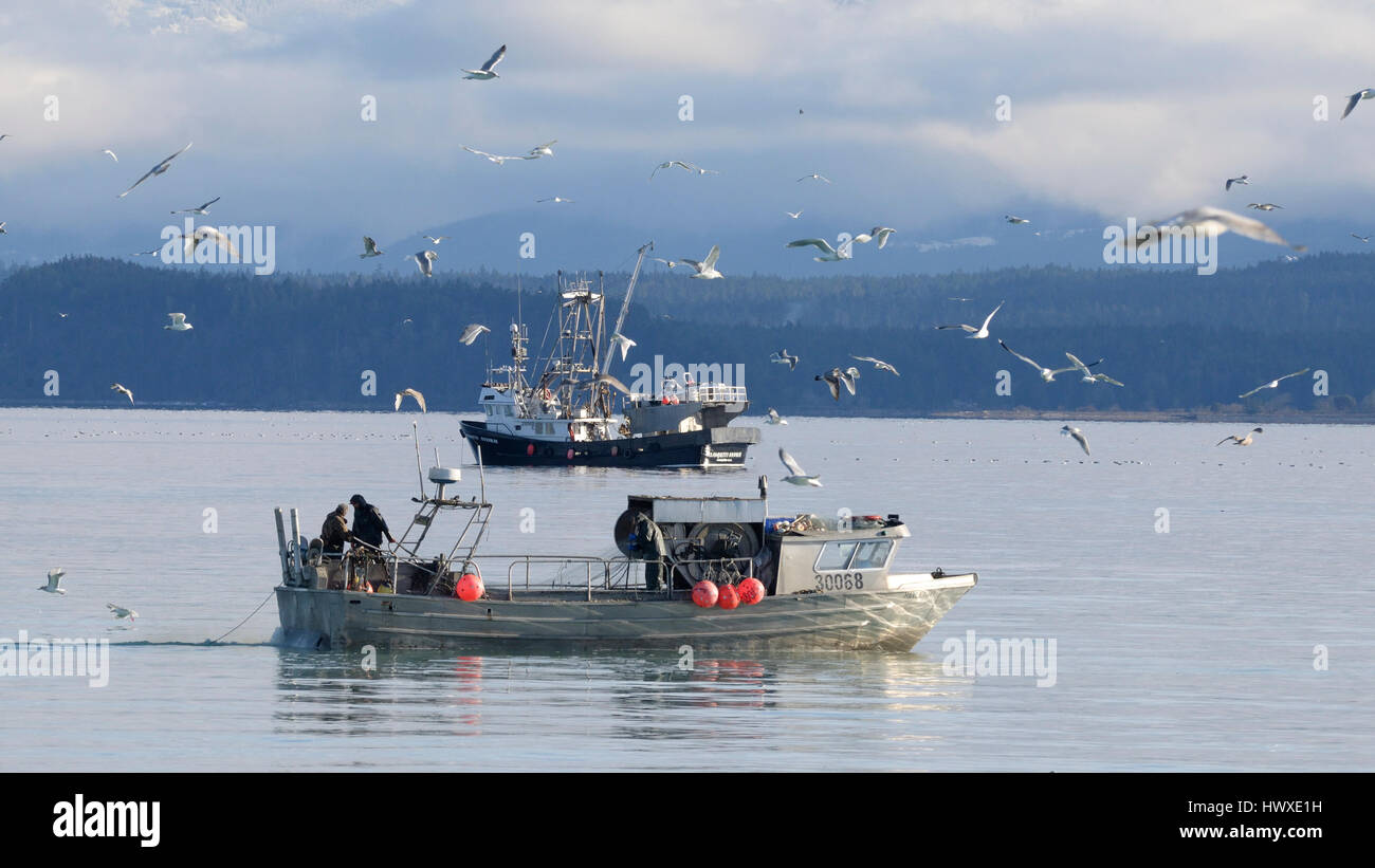 Trawler and seiner fishing for herring, Vancouver Island, B.C Canada - Stock Image