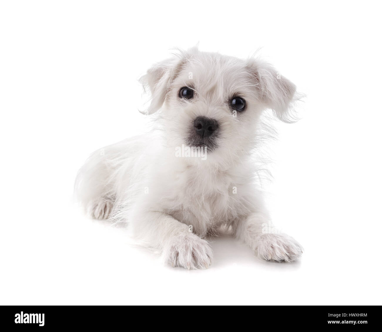 Maltese Westie or West Highland Terrier puppy isolated on white background - Stock Image