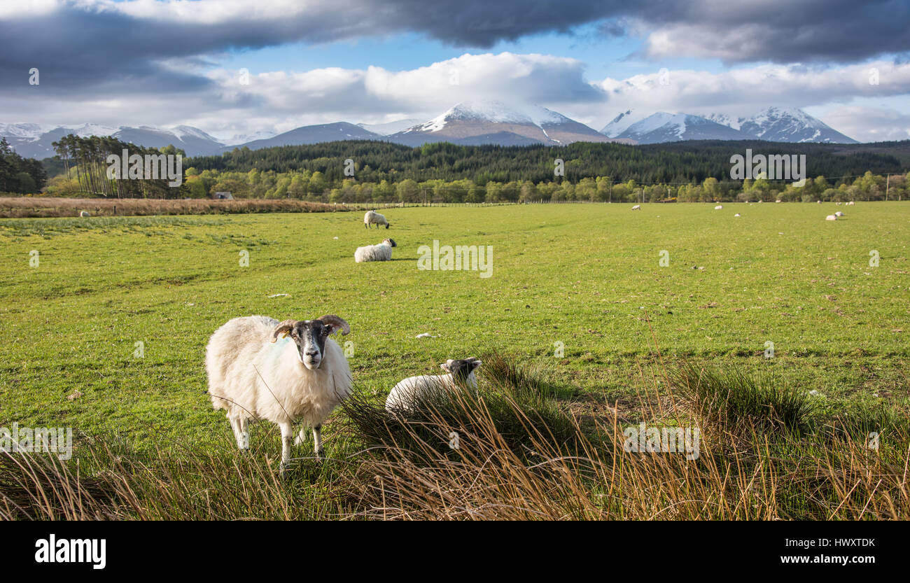 Sheep at Gairlochy,with Ben Nevis range in background. - Stock Image