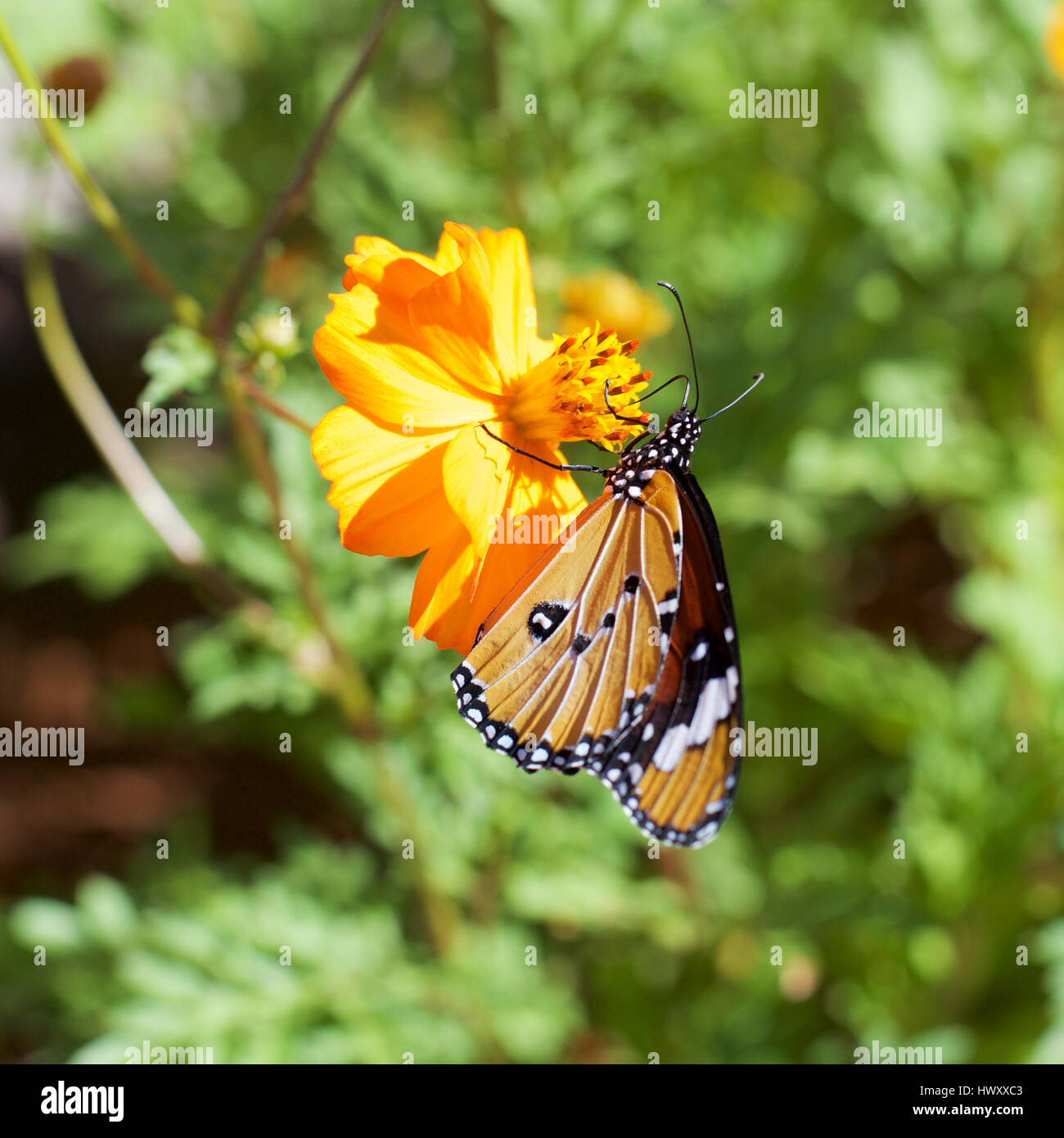 a416bcf01 Monarch Danaus chrysippus orientis, African Monarch Butterfly, Plain Tiger.  Afrikaans name: Melkbosskoenlapper on African Marigold