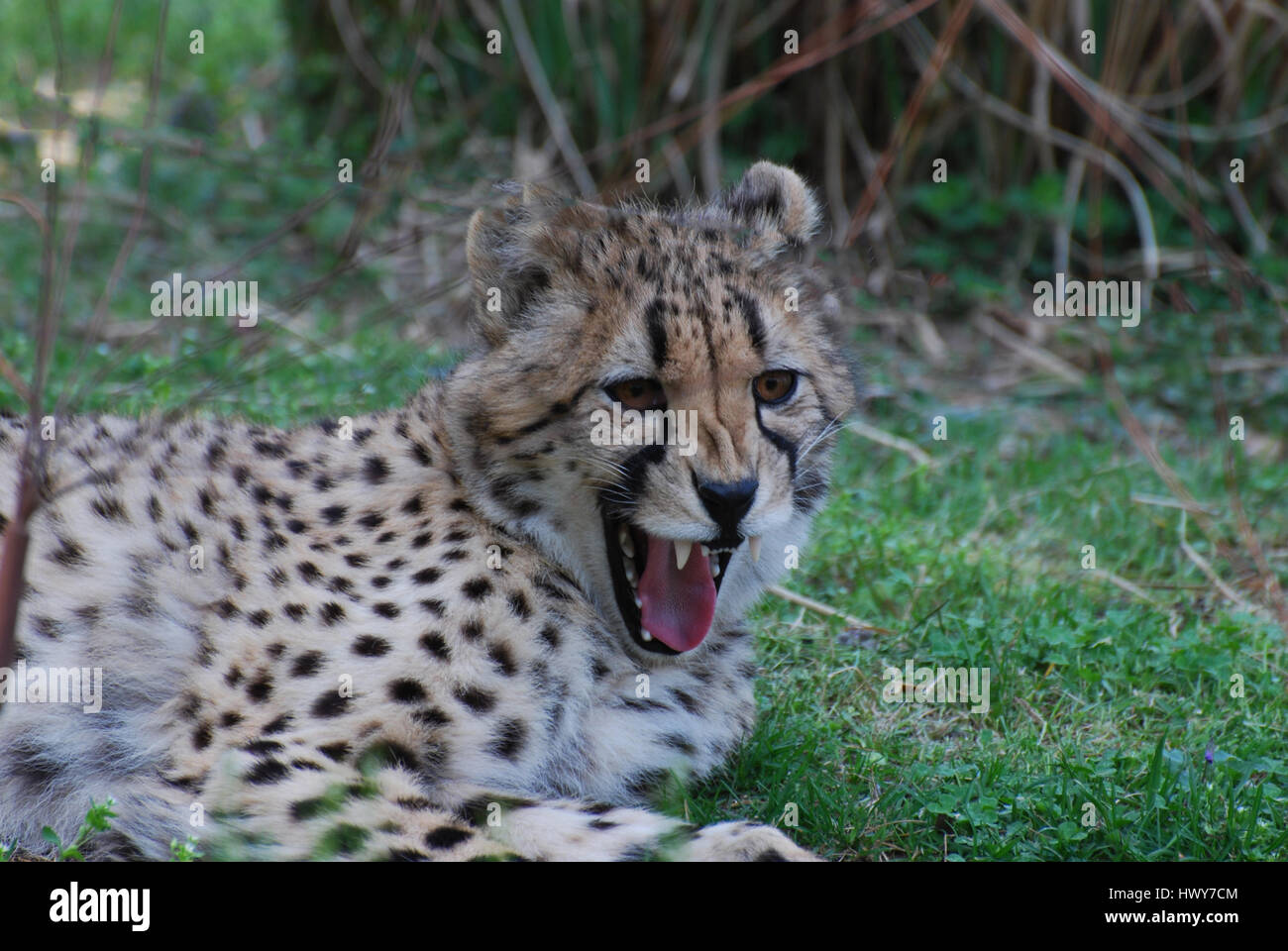 Cheetah with sharp teeth snarling with his mouth open. - Stock Image