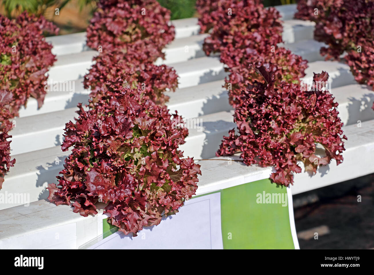Lettuce vegetable growing in hydroponics system, a method of plant cultivation without the use of soil and in controlled - Stock Image