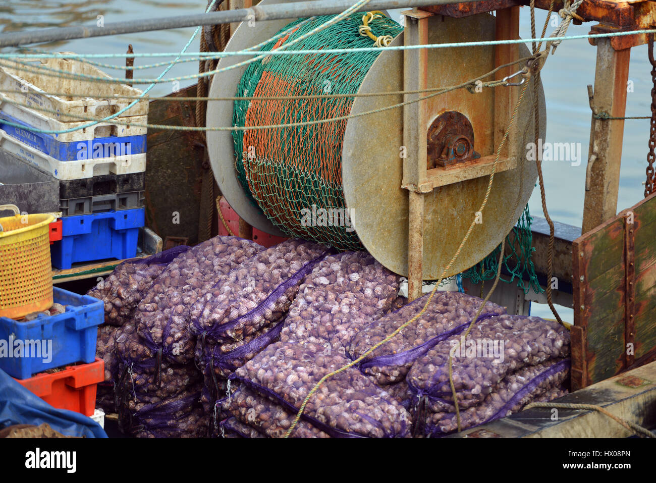 Days catch from a whelk trawler, Whitstable, Kent, UK - Stock Image