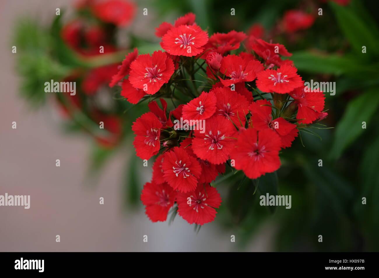 Sweet Williams - Stock Image