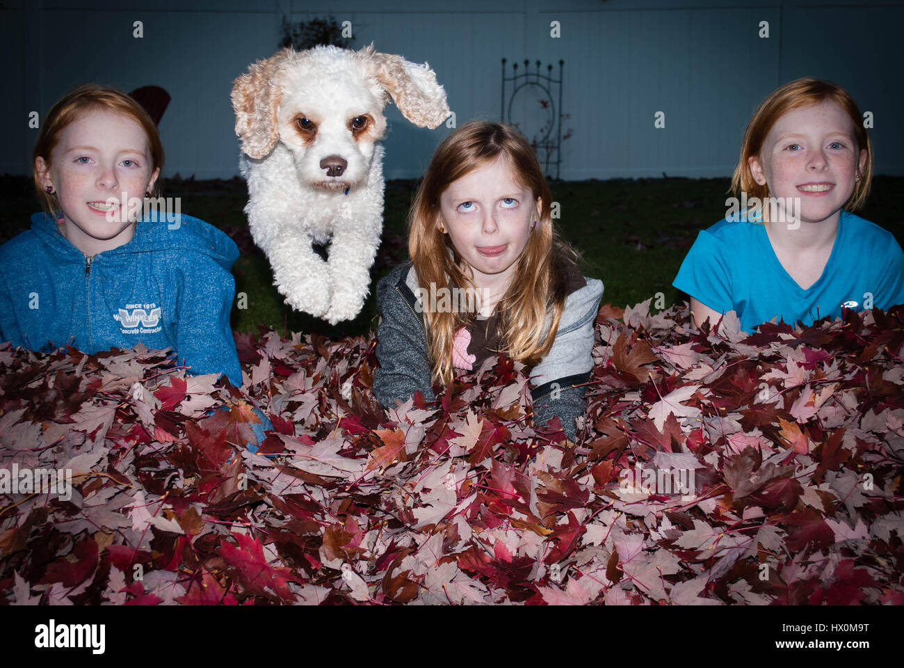 White dog jumping over pile of Autumn leaves between three silly girls. - Stock Image