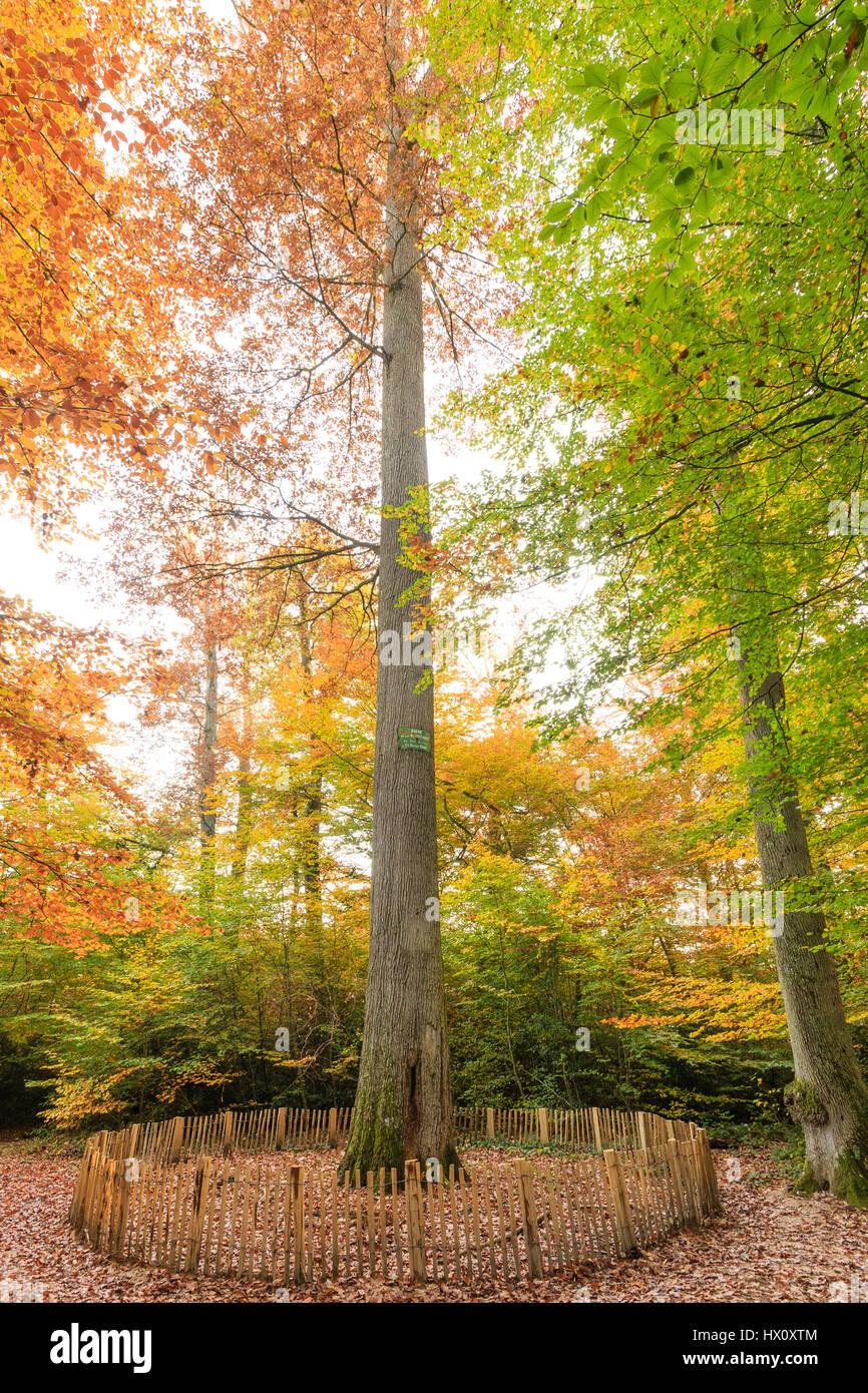 France, Allier, Tronçais forest, Saint-Bonnet-Troncais, the forest Colbert, biological reserve in autumn, oak of Stock Photo