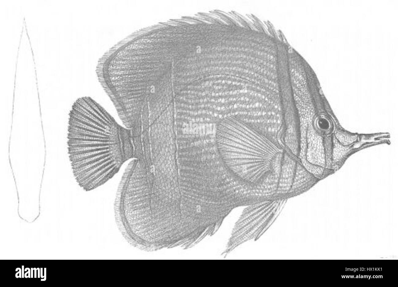Chelmon marginalis (Discoveries in Australia) - Stock Image