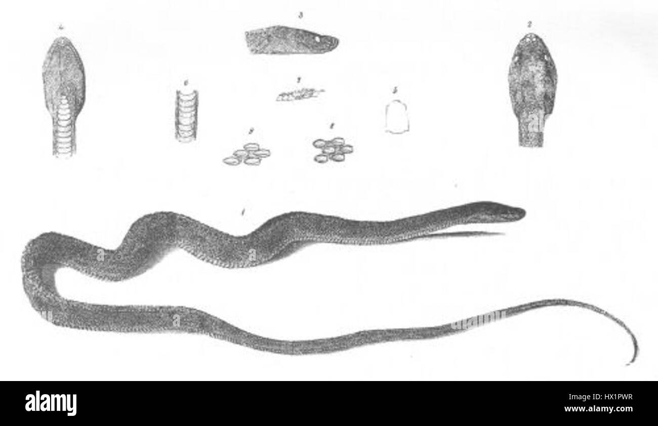 Gonionotus plumbeus (Discoveries in Australia) - Stock Image