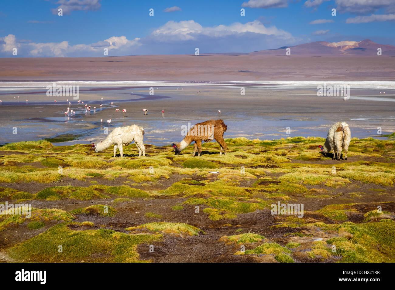 Lamas herd in Laguna colorada, sud Lipez Altiplano reserva Eduardo Avaroa, Bolivia Stock Photo