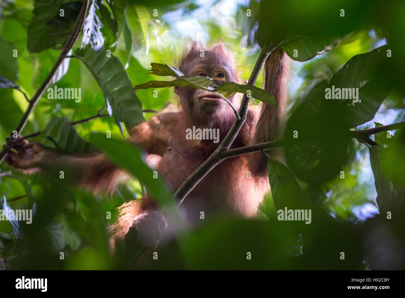 Baby Bornean orangutan searching for foods. - Stock Image