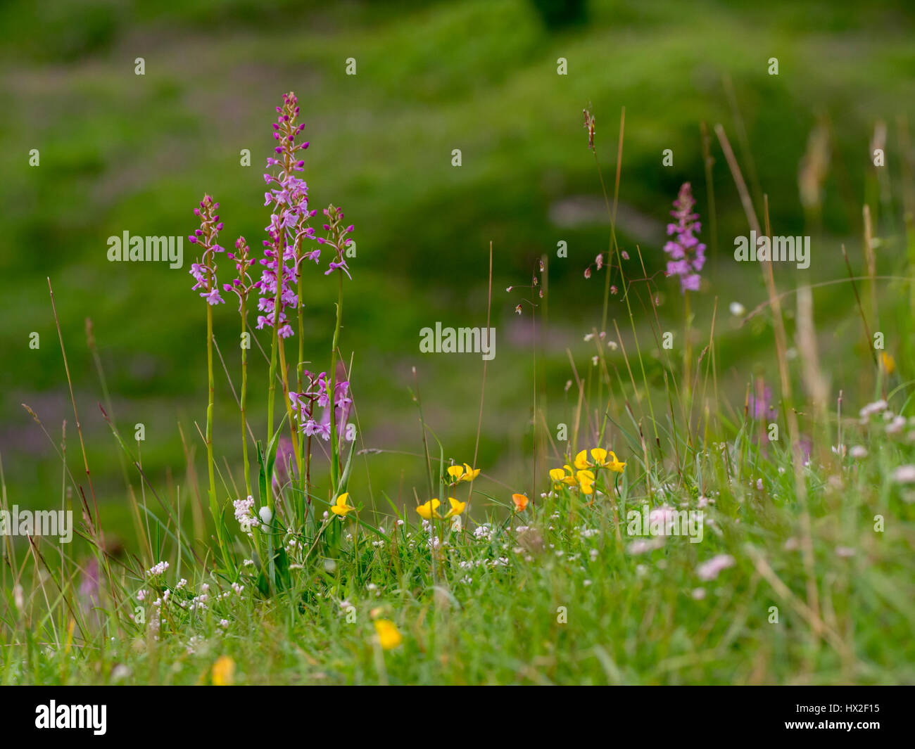 Fragrant Orchids, sqinancywort, Bird's-foot trefoil, quaking grass at Aston Clinton Ragpits nature reserve. - Stock Image