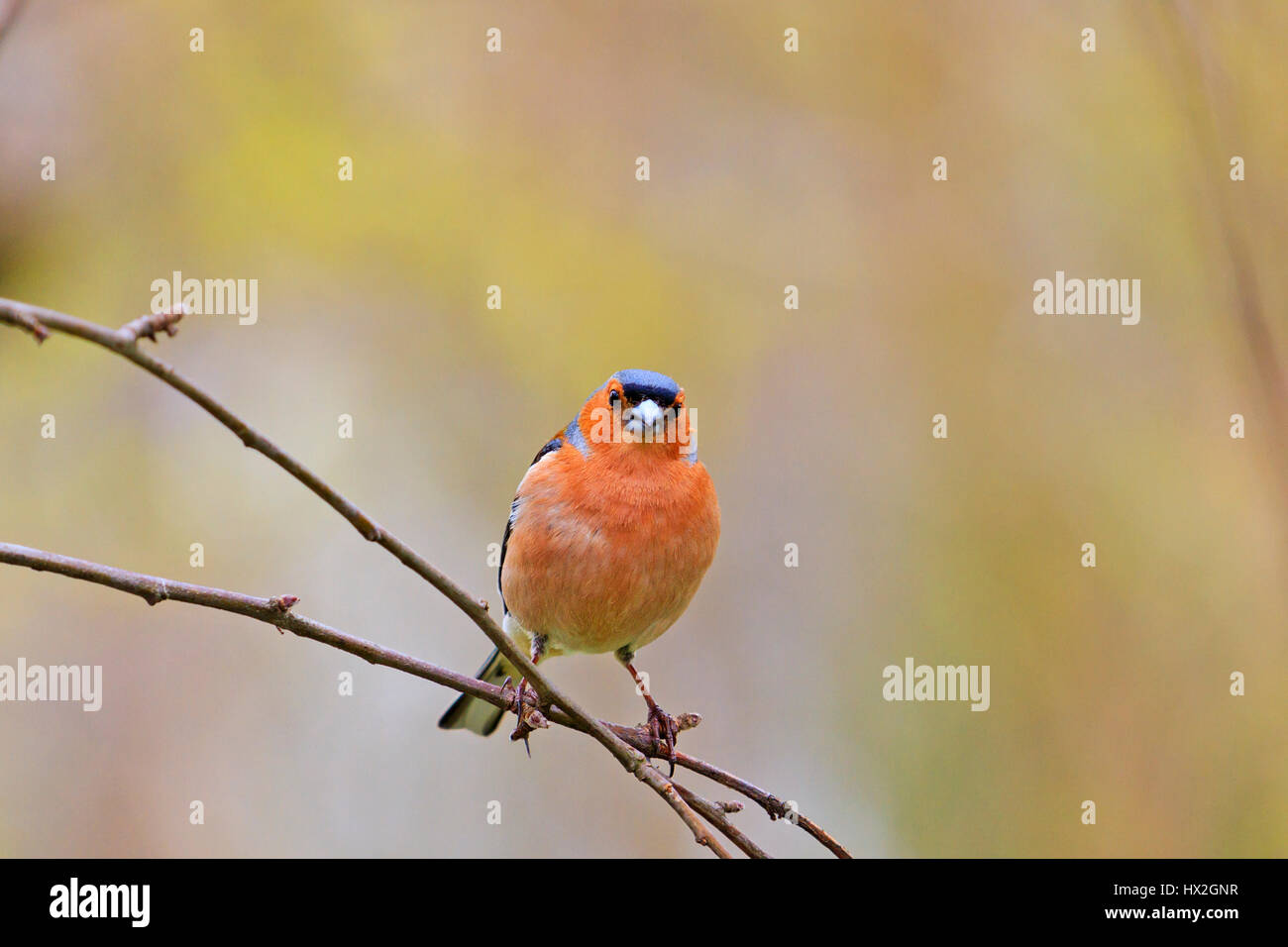 chaffinch in spring day sits on a thin branch,Spring birds singing, beautiful melody, the birds in the garden, the - Stock Image
