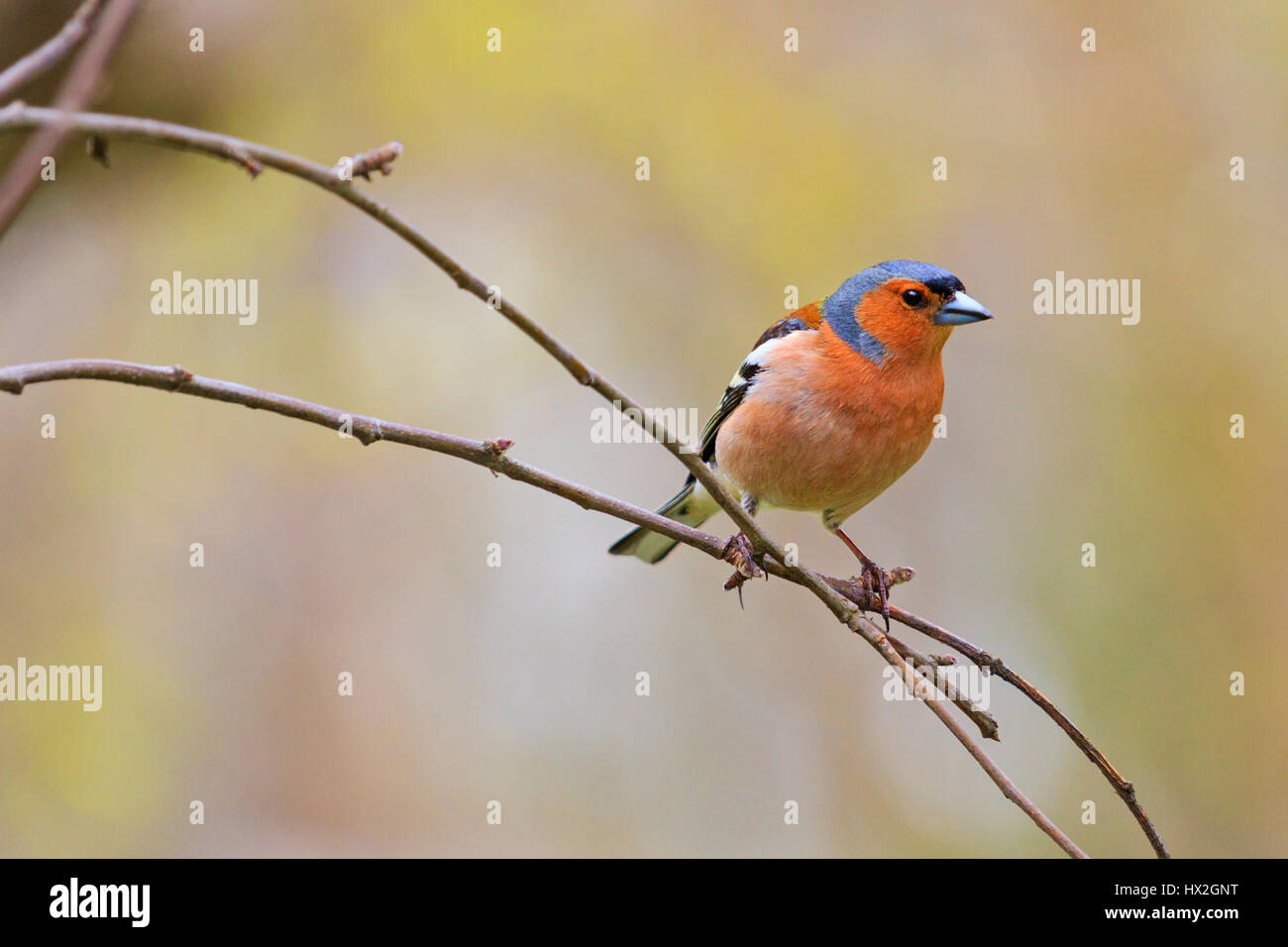 chaffinch in spring day sits on branch in the garden,Spring birds singing, beautiful melody, the birds in the garden, - Stock Image