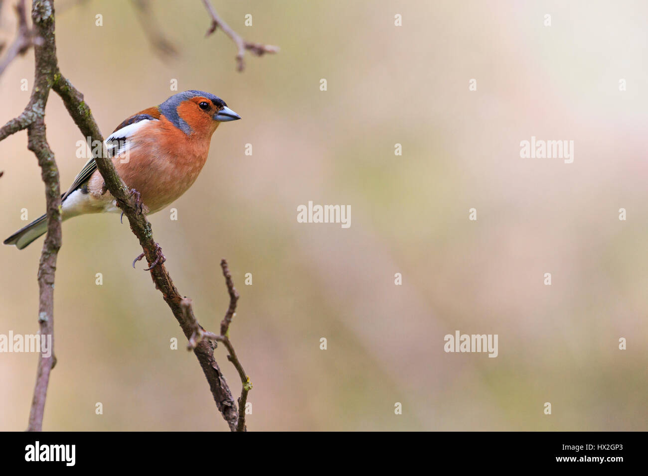chaffinch sits on branch in the garden in the sunny day,Spring birds singing, beautiful melody, the birds in the - Stock Image
