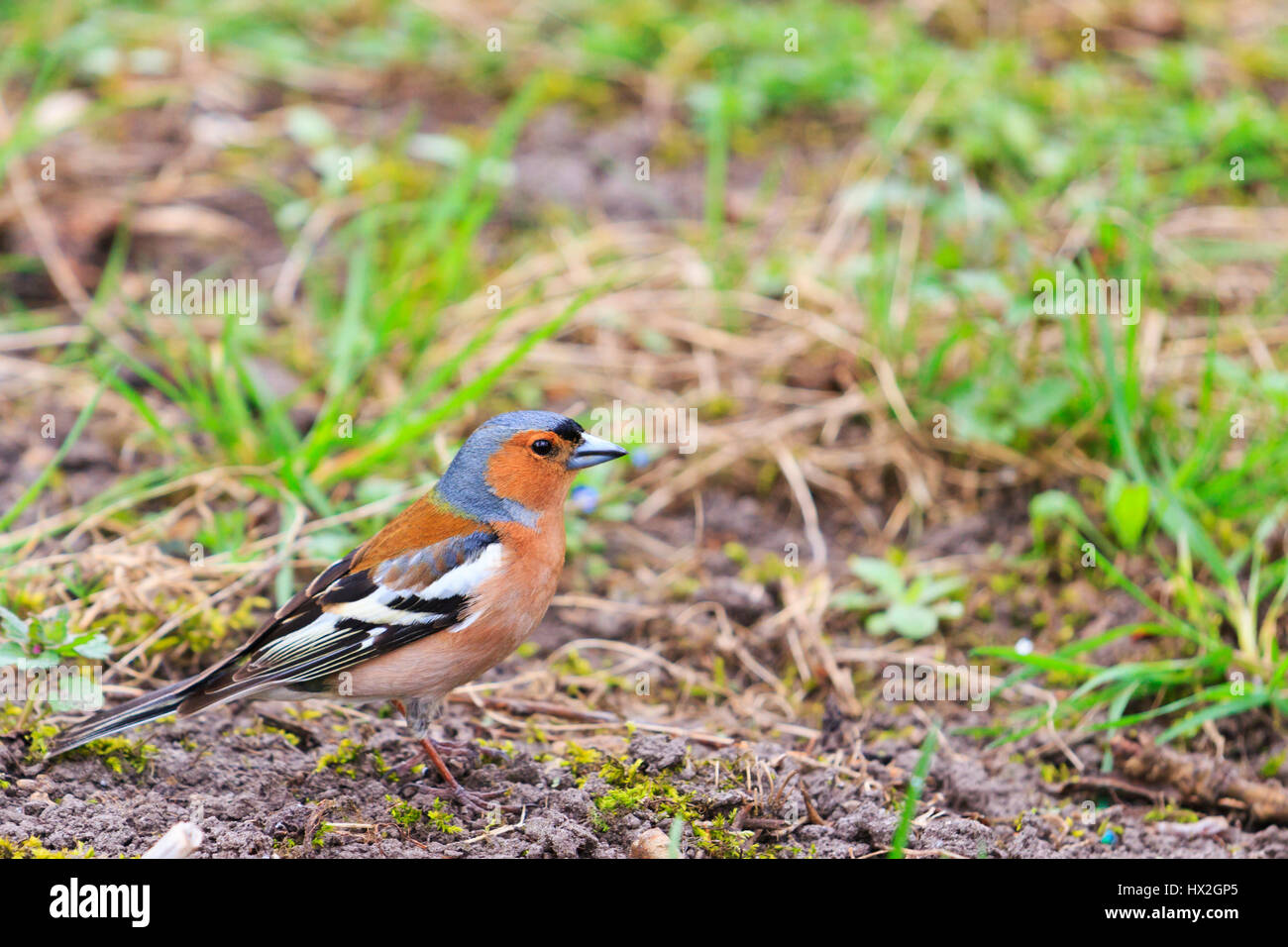 chaffinch sits on the grass in the garden,Spring birds singing, beautiful melody, the birds in the garden, the birds - Stock Image