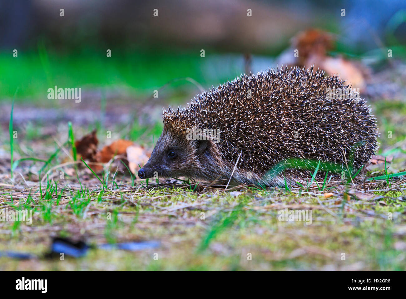 European hedgehog in a clearing in the woods,mammals, predator prickly animal complex, nocturnal animal, the animal - Stock Image
