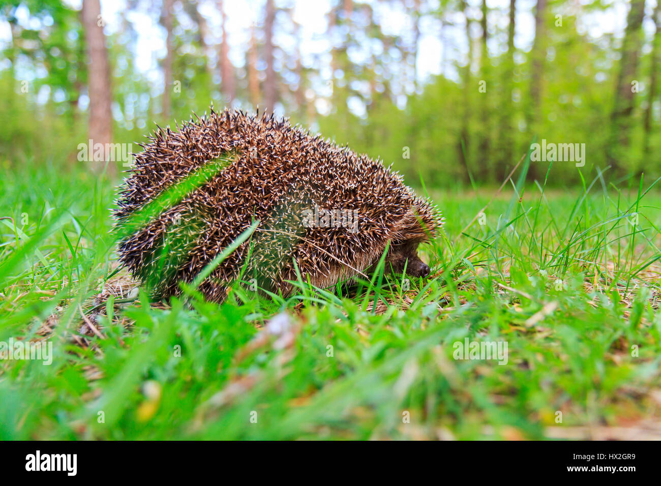 European hedgehog hiding among green grass,mammals, predator prickly animal complex, nocturnal animal, the animal - Stock Image