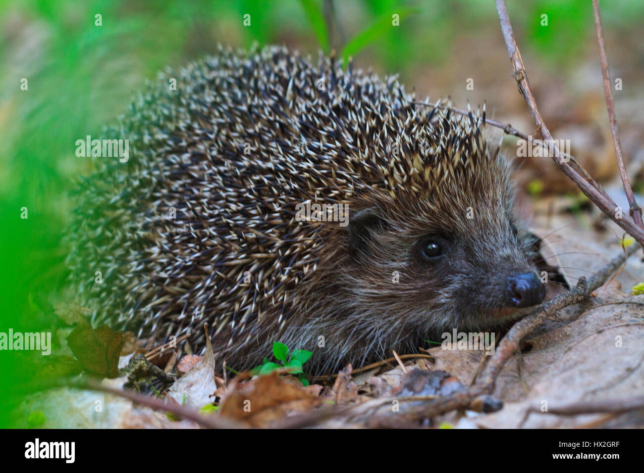 cute european Hedgehog among the dry leaves,mammals, predator prickly animal complex, nocturnal animal, the animal - Stock Image