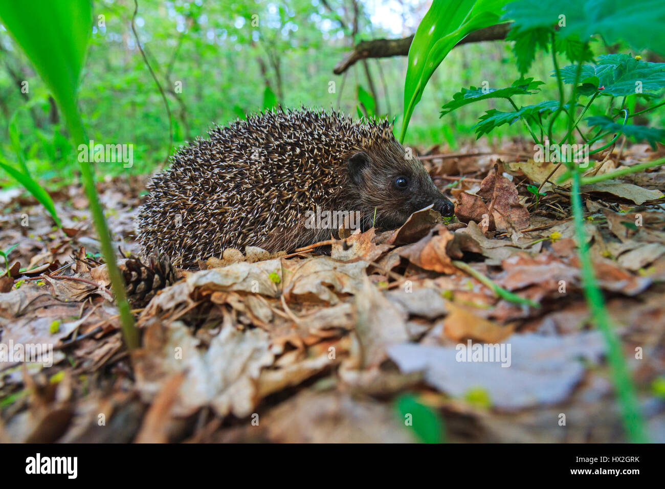 cute young european hedgehog among the dry leaves,mammals, predator prickly animal complex, nocturnal animal, the - Stock Image