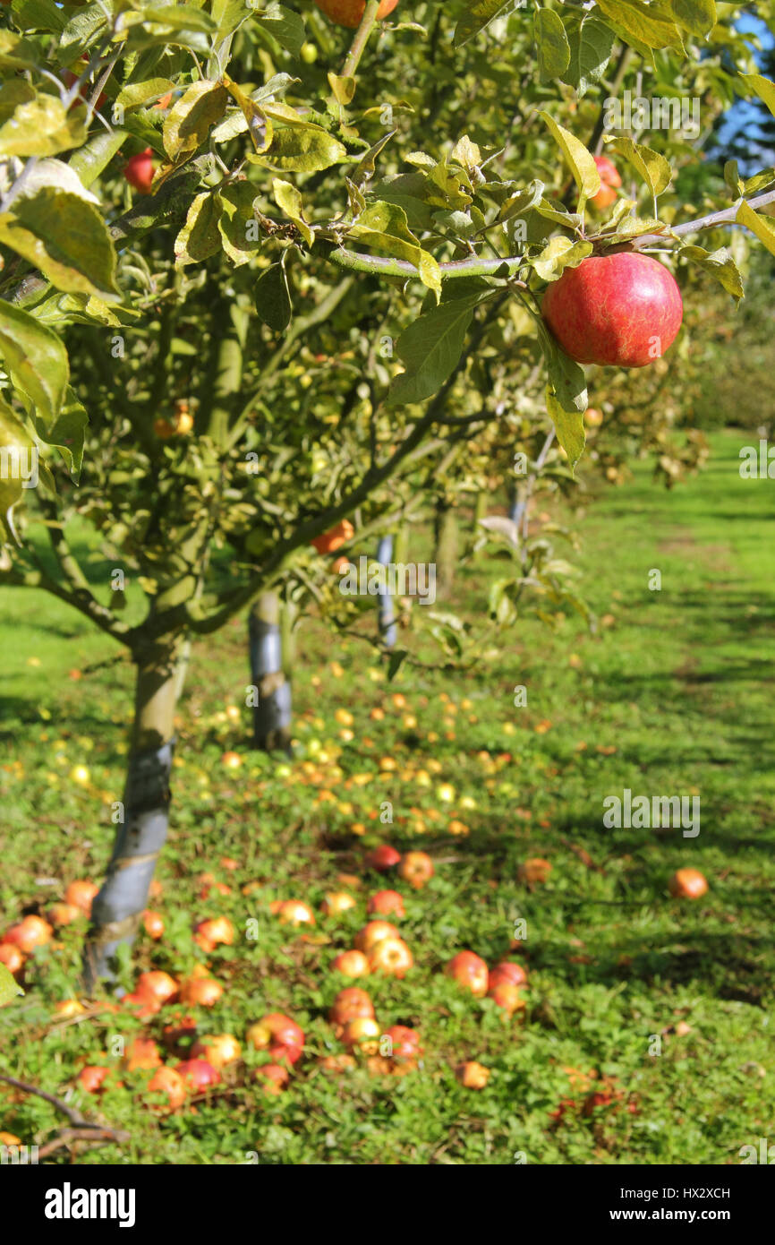Heritage Variety Apples Trees In An English Village Orchard On A Sunny Day Early Autumn Nottinghamshire England UK