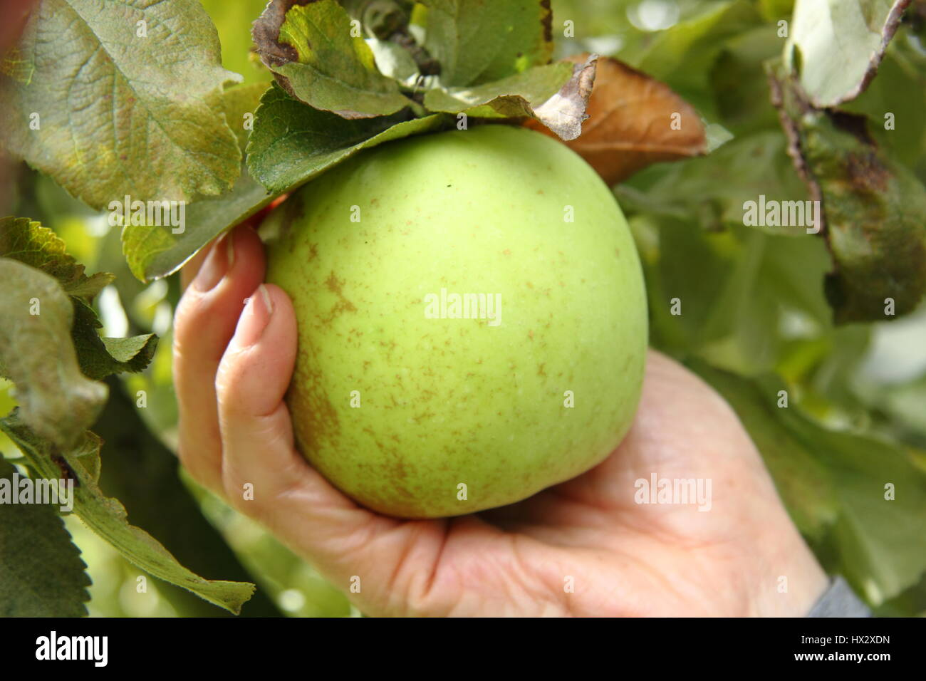 A cupped hand is placed under a ripe heritage variety apple in  to gently life and twist the fruit, determining - Stock Image
