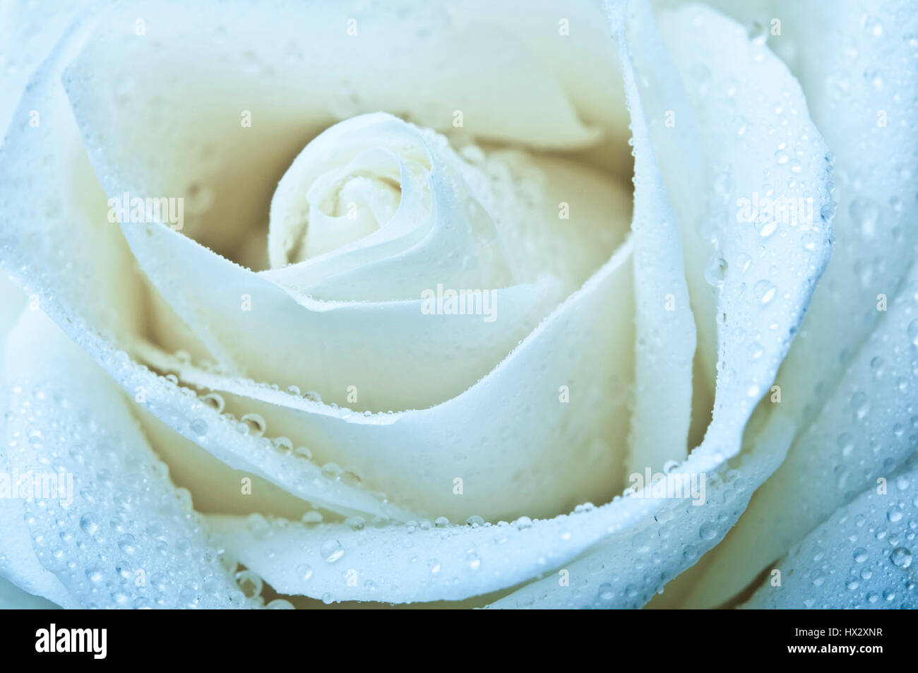 white rose macro with drops of water on petals - Stock Image