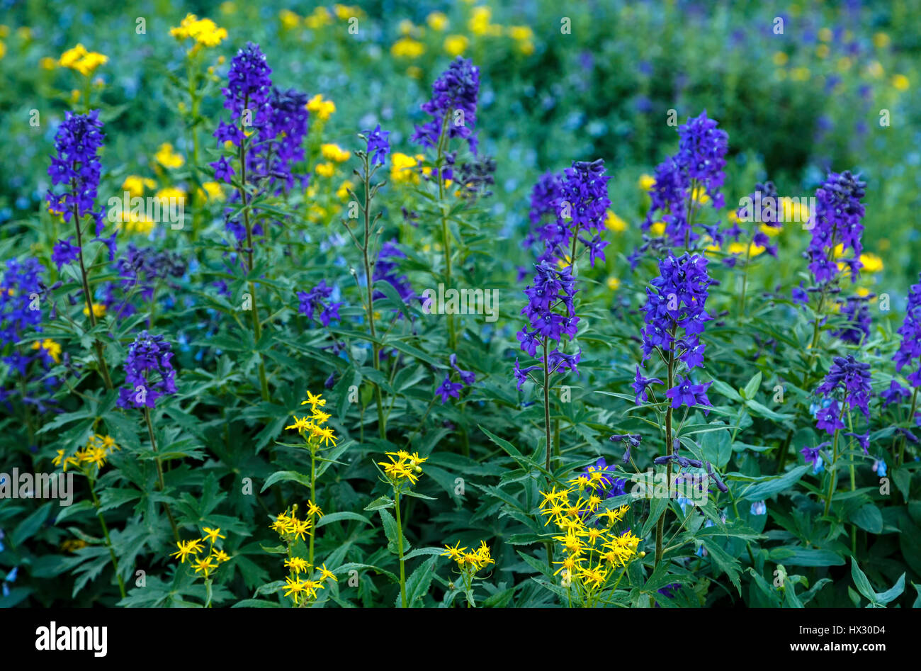 Wildflowers, Big Horn Gulch, San Juan Mountains, near Silverton, Colorado USA - Stock Image